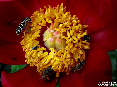 insecte recoltand polen dintr-un bujor