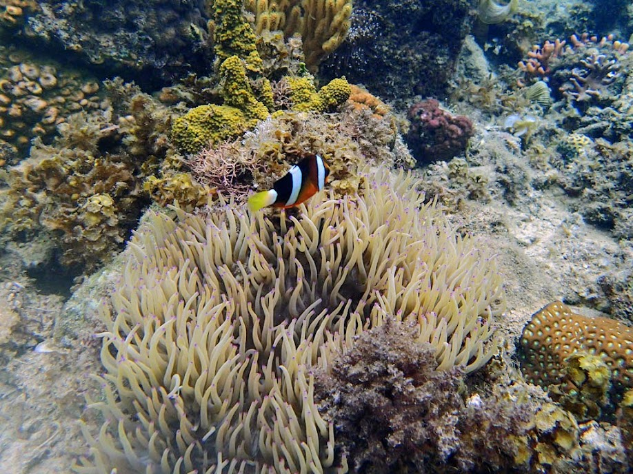 Amphiprion clarkii (Clarkii Clownfish) and Heteractis crispa (Sebae Anemone), Lusong Island, Coral Garden Reef, Palawan, Philippines.