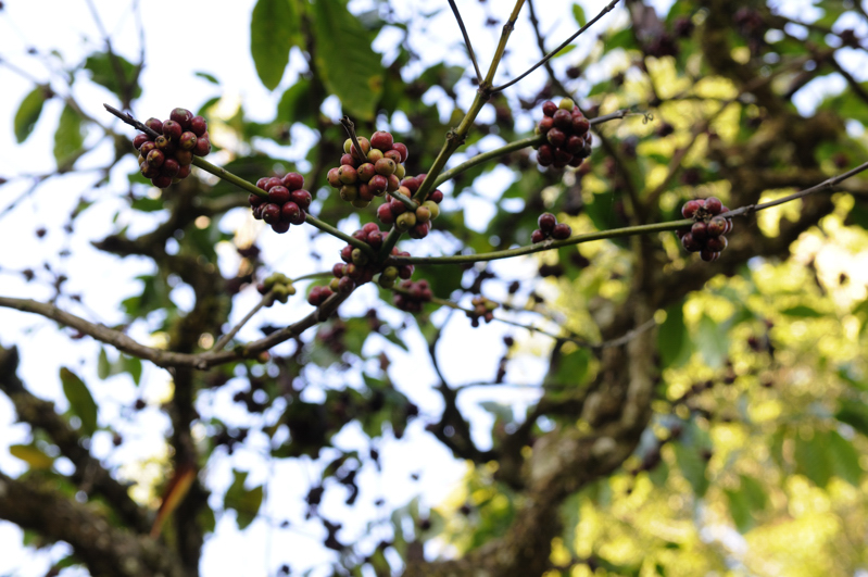 Coorg_coffee_berries