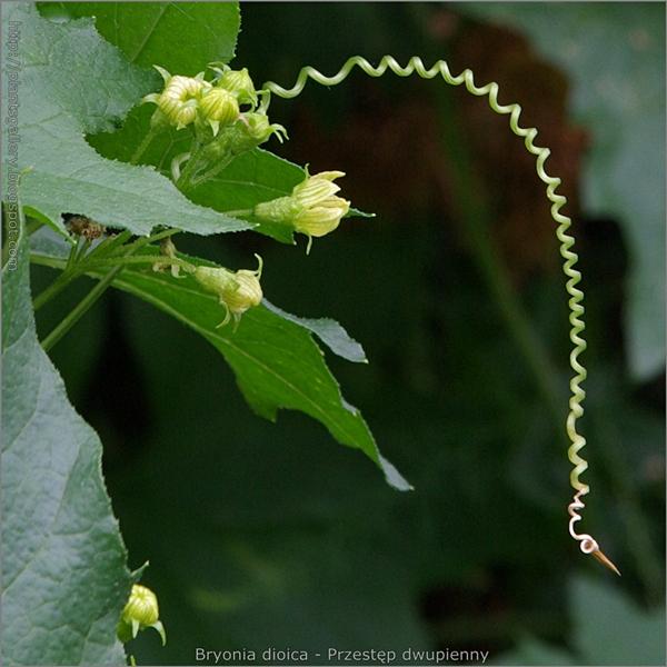 Bryonia dioica Flowers and mustache - Przestęp dwupienny kwiaty i wąs czepny