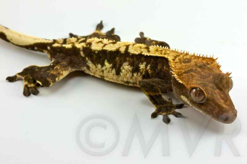 Crested Gecko Morph Gu...