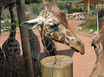 The giraffe was coy