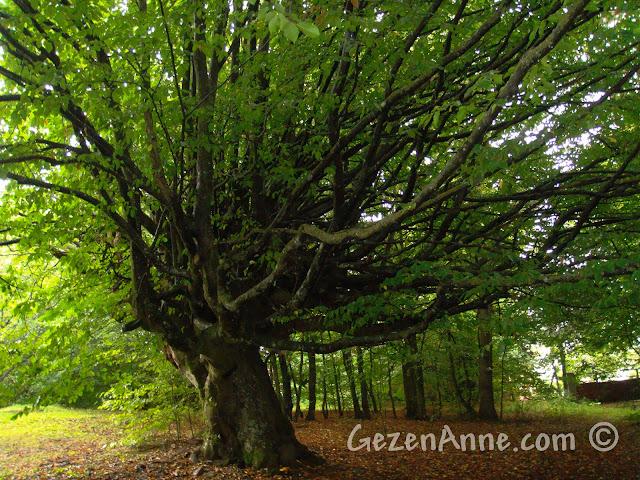 Bolu'daki Koru Otel'in bahçesindeki etkileyici ağaç