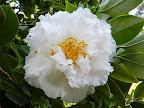 白色 八重〜牡丹咲き 弁端波曲 大輪