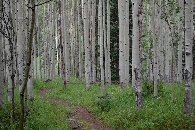 alder with a pine