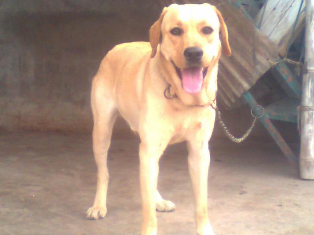 ANIMAL COLLECTION: 8th month old lab male — Lahore