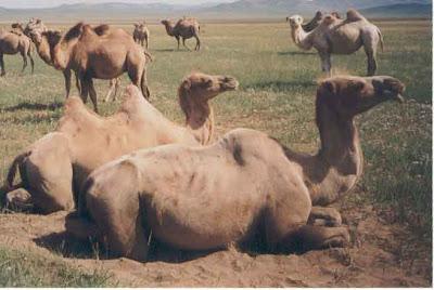 Camellos echados y parados