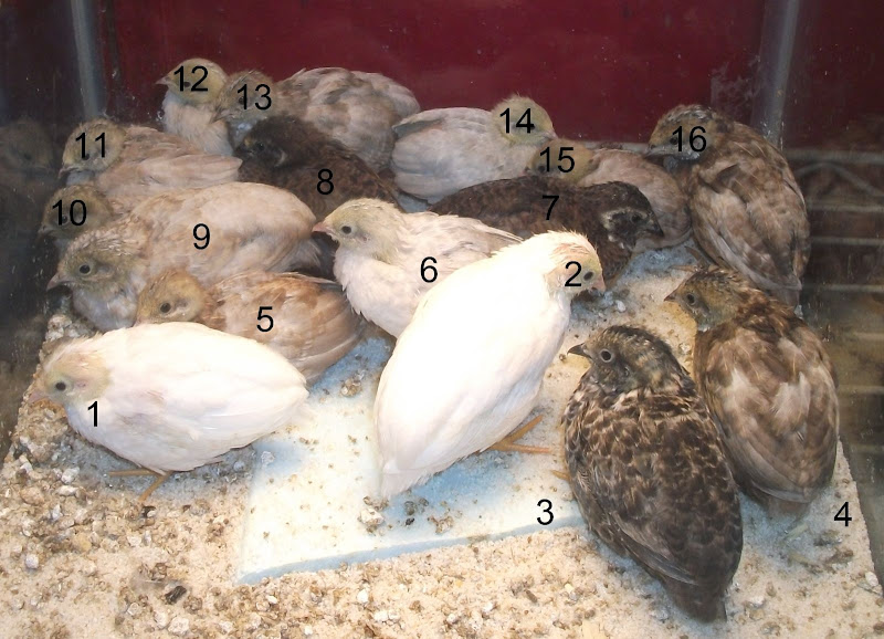 Anyone here good at identifying button quail colors in chicks?