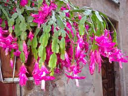 piante ricadenti da esterno perenni sempreverdi per