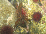 Common sea urchins (Heliocidaris erythrogramma)