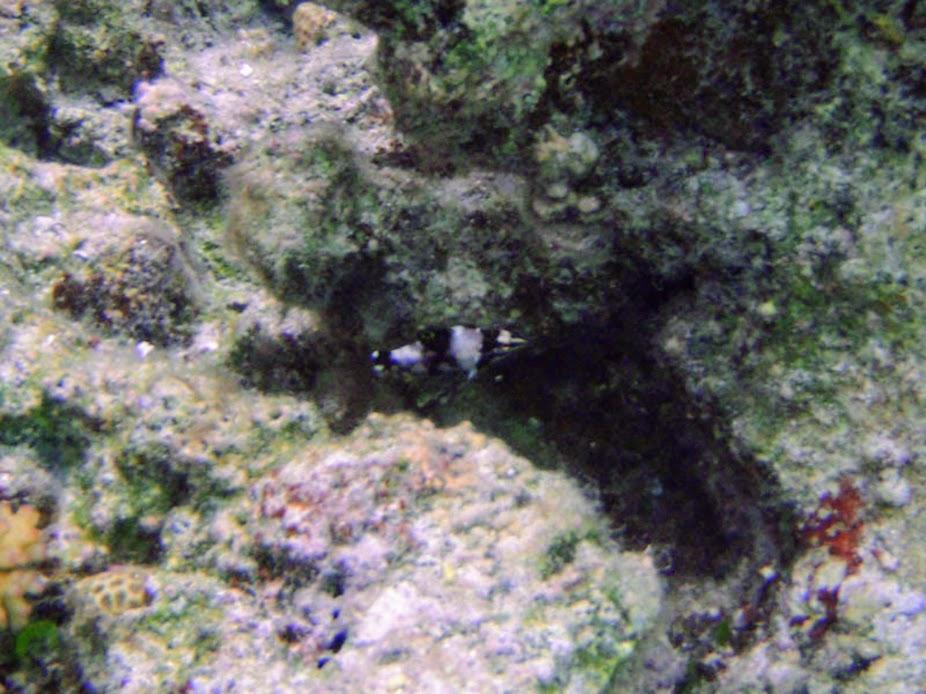 Halichoeres hortulanus (Juv. Checkerboard Wrasse), Aitutaki.