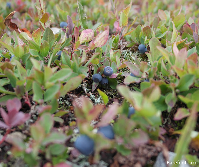 lowbush wild blueberries