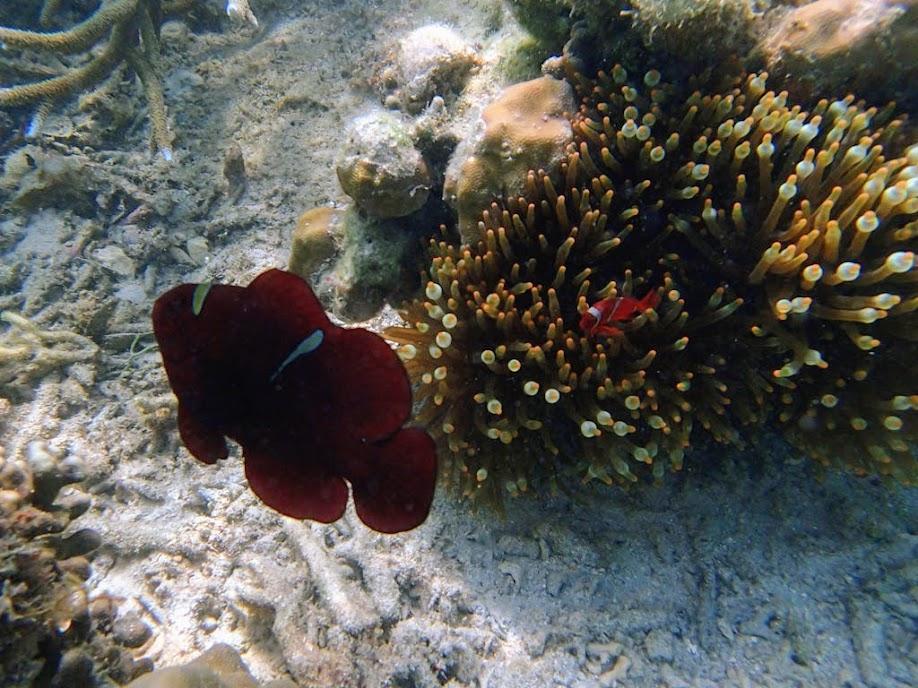 Premnas biaculeatus (Maroon Clownfish), Chindonan Island, Palawan, Philippines.