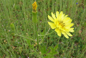 Many-stem False Dandelion