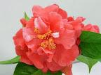 サーモン・ピンク 牡丹咲き 極大輪