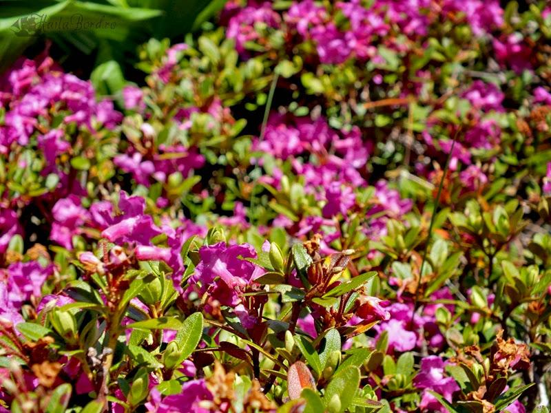 rododendron bucegi iunie 2013