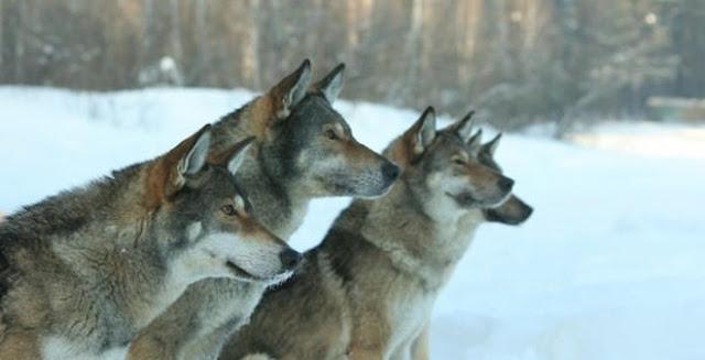"""Giống chó """"vũ khí bí mật"""" của đội tuần tra biên giới Nga."""