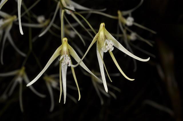 Растения из Тюмени. Краткий обзор - Страница 3 Dockrillia%252520teretifolia1