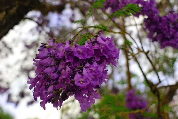 Jacaranda, purple