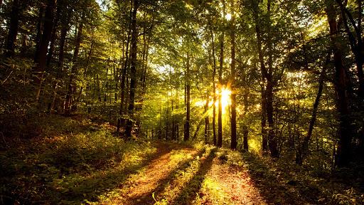 Sunlight coming through Trees