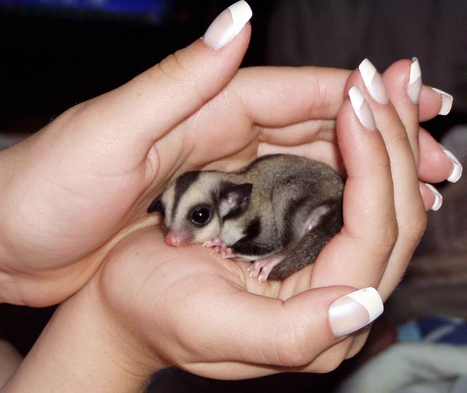 diary of a mad pet enthusiast species of the day sugar glider