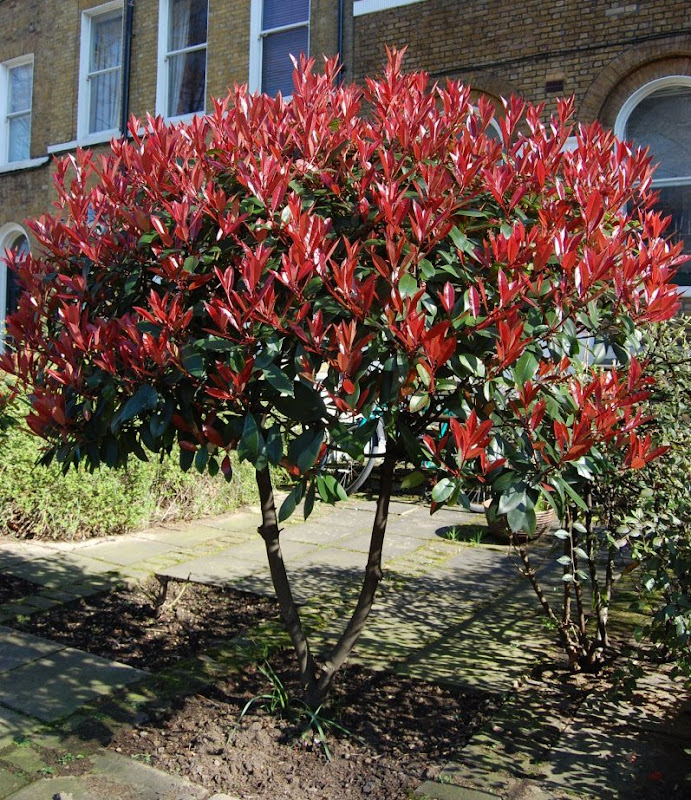 Photinia x fraseri - Vista general