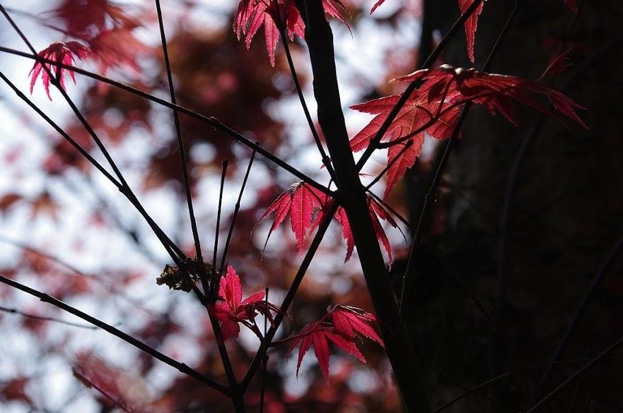 台北奧萬大-楓葉