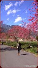 草坪頭玉山觀光茶園-山櫻與藍天