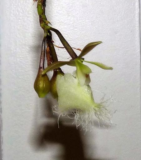 Epidendrum ilense P1360836