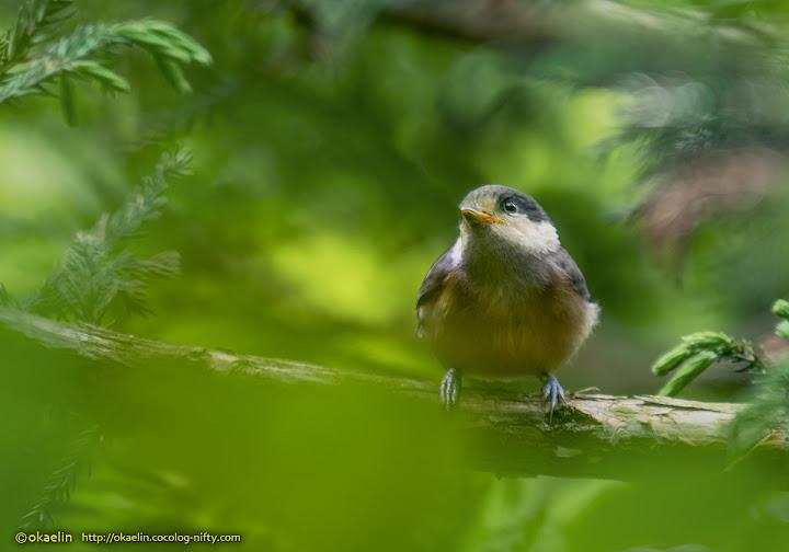 ヤマガラ若鳥