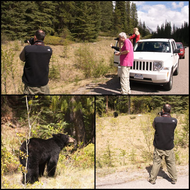 amerikanischer Schwarzbär Jasper Nationalpark Alberta