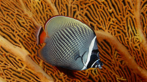 Collared Butterflyfish Against a Sea Fan, Thailand.jpg
