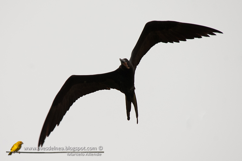 Ave fragata (Magnificent frigatebird)