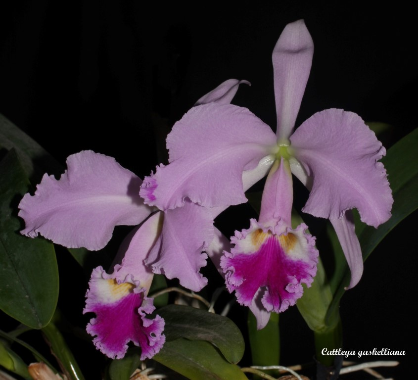 Cattleya gaskelliana IMG_6574b%252520%252528Medium%252529