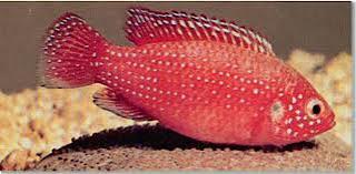 FreshwaterOrnamentalFish: Blood-Red Jewel Cichlid (Hemichromis ...