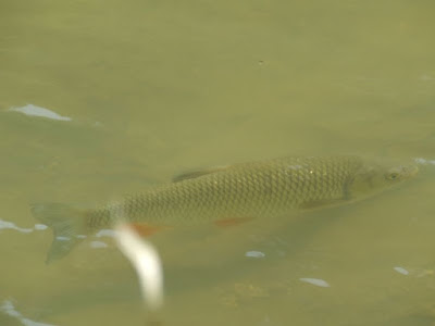 chub in Dunajec river