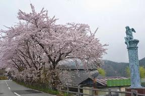 会場の勝山駐車場は桜満開