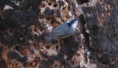 little blue and grey bird