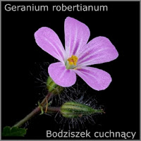Geranium robertianum - Bodziszek cuchnący