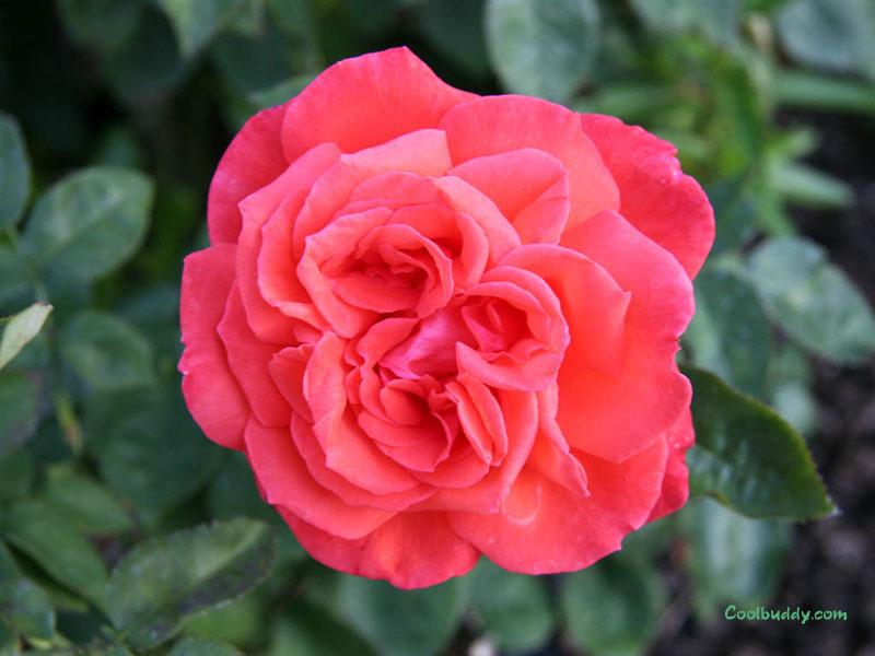 Red Roses Wallpaper Tumblr Rose Wallpapers Red Rose