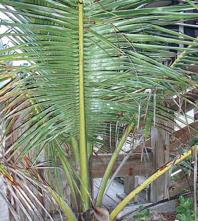 A decorative palm tree is a safe house plant but items in the soil such as fertilizer beads and other slow release items can be toxic