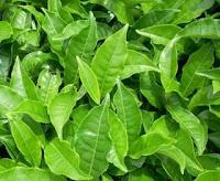 daun teh ramuan tradisional