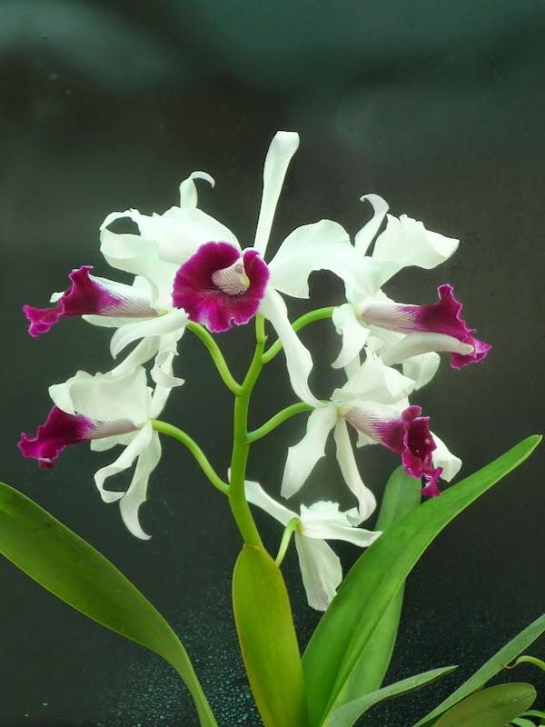 Cattleya (Laelia) purpurata P1190360