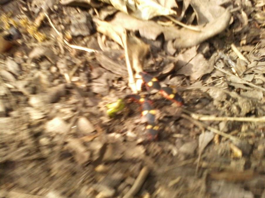 Identificacion de escarabajo EscarabajoRojo+%283%29