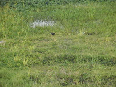 04-Jun-2011 White-breasted waterhen