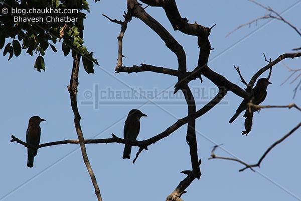 3 Indian Rollers [Coracias Benghalensis]