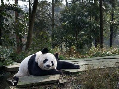 Панды в Эдинбурге