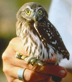 Ecofriendly Cactus Ferruginous Pygmy Owl
