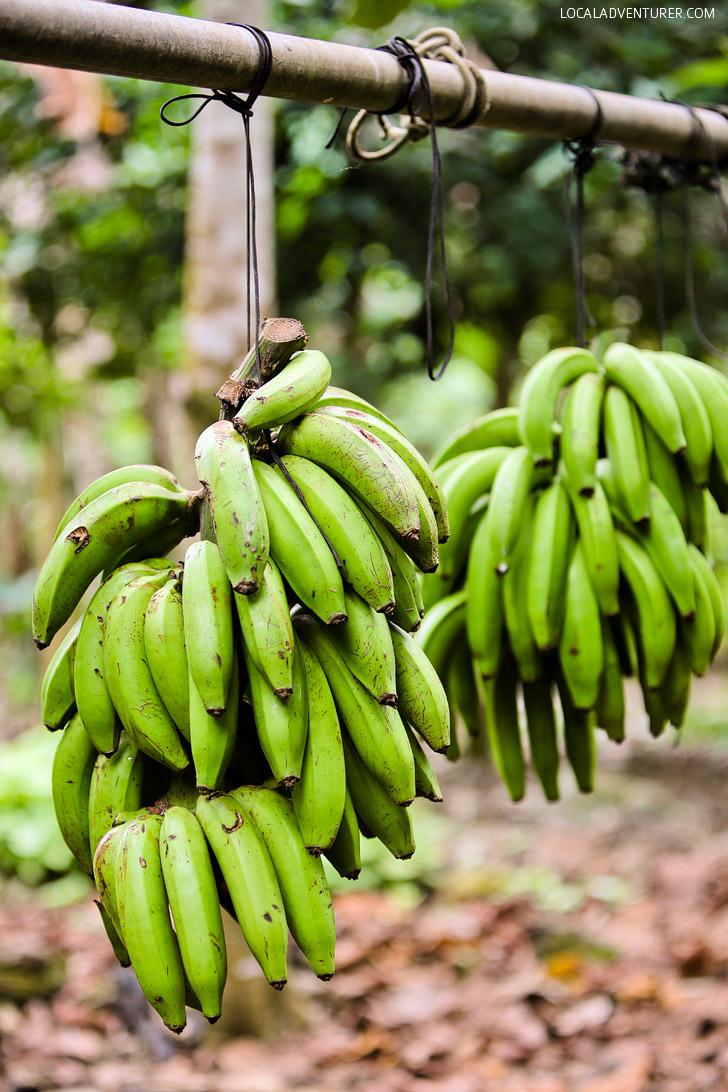 Bananas Galapagos Islands Ecuador.