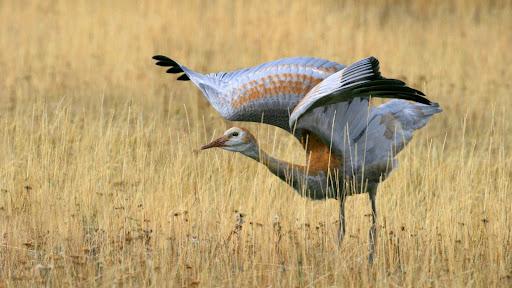 Juvenile Sandhill Crane.jpg